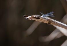 Mosca del dragón encaramada en una caña Foto de archivo libre de regalías