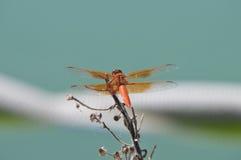 Mosca del dragón del saturata del libellula de la desnatadora de la llama sobre el agua Fotos de archivo