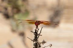 Mosca del dragón del saturata del libellula de la desnatadora de la llama sobre el agua Imagen de archivo libre de regalías