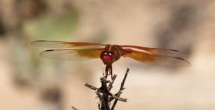 Mosca del dragón del saturata del libellula de la desnatadora de la llama sobre el agua Fotografía de archivo