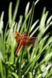 Mosca del drago Fotografia Stock