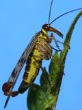 Mosca del escorpión Foto de archivo libre de regalías