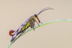 Mosca del escorpión Imagen de archivo libre de regalías