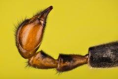 Mosca del escorpión, Scorpionfly común - abdomen masculino Fotos de archivo