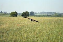 Mosca del falco del Harris Fotografia Stock Libera da Diritti