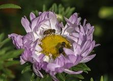 Mosca del fuco di Eristalis tenax sul fiore nell'ora legale del giardino fotografia stock libera da diritti