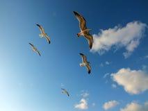 Mosca del gabbiano con il fondo del cielo blu Immagine Stock