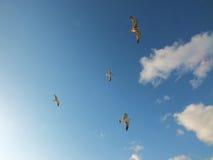 Mosca del gabbiano con il fondo del cielo blu Fotografie Stock Libere da Diritti