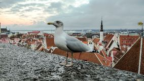Mosca del gabbiano davanti a panorama di Tallinn immagine stock libera da diritti