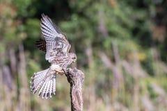 Mosca del halcón al tocón de la naturaleza Imágenes de archivo libres de regalías