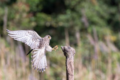 Mosca del halcón al tocón de la naturaleza Fotografía de archivo libre de regalías