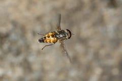 Mosca del imitador de la abeja que asoma en mediados de-aire en New Hampshire Fotos de archivo