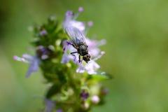 Mosca del insecto encendido en las flores del tomillo foto de archivo libre de regalías