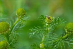 Mosca del litlle del verano en una flor de la margarita Fotografía de archivo libre de regalías