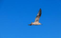 Mosca del pájaro en cielo azul Imagen de archivo