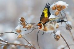 Mosca del pájaro del jilguero lejos de la rama de la bardana fotografía de archivo libre de regalías