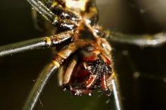 Mosca del papà del ragno Fotografia Stock