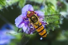Mosca del primer en una flor Imagen de archivo libre de regalías
