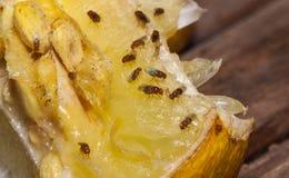 Mosca del vinagre en el limón fotos de archivo