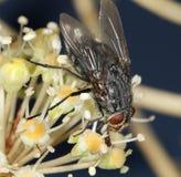 Mosca della Camera che si alimenta il polline recente di autunno Immagini Stock