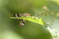 Mosca dello scorpione - Panorpidae Immagine Stock Libera da Diritti
