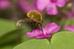Mosca di ape Immagine Stock