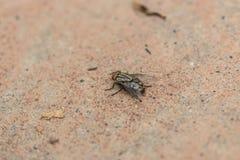 Mosca di colpo, mosca della carogna, mosconi azzurri della carne, greenbottles, o mosca del mazzo Fotografia Stock