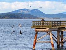 Mosca di due Eagles calvo vicino ad un pilastro di pesca alla ricerca del pesce Fotografie Stock Libere da Diritti