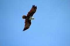 Mosca di Eagle alta nell'aria Immagini Stock Libere da Diritti