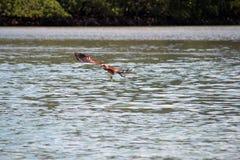 Mosca di Eagle giù all'acqua Fotografia Stock Libera da Diritti