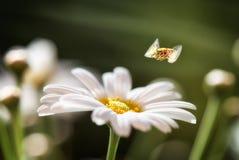 Mosca di librazione sopra il nome latino Syrphidae della margherita bianca Fotografia Stock