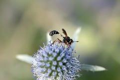Mosca divertida que recoge el polen Imagen de archivo libre de regalías