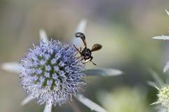 Mosca divertida que recoge el polen Foto de archivo