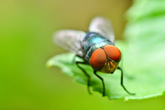Mosca do Bluebottle Fotografia de Stock