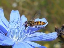 Mosca do doce de fruta na flor azul Fotografia de Stock Royalty Free