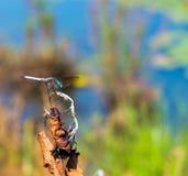 Mosca do dragão na planta seca na lagoa Fotografia de Stock Royalty Free