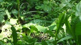 Mosca do inseto que senta-se em uma folha verde, na floresta, prado, grama no fundo verde, campo, jardim, hd completo vídeos de arquivo