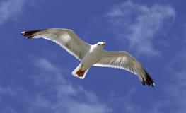 Mosca do pássaro no céu azul. Fotografia de Stock Royalty Free