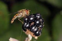 Mosca do pairo que alimenta em um arbusto de amora-preta Foto de Stock