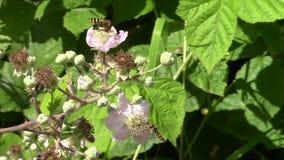 Mosca do pairo que alimenta nas flores de um arbusto de amora-preta video estoque