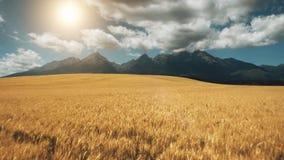 Mosca do zangão da vista aérea sobre o campo de trigo amarelo video estoque