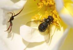 Mosca e aranha em uma flor Foto de Stock