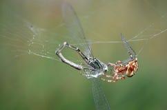 Mosca e ragno del drago Fotografie Stock