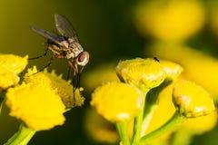 Mosca em flores amarelas, jardim do verão fotografia de stock royalty free