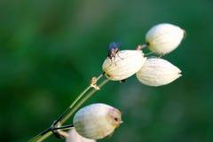 Mosca em uma flor Imagem de Stock