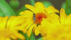 Mosca en Calendula de la flor almacen de video