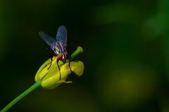 Mosca en flor Fotografía de archivo libre de regalías