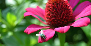 Mosca en la flor Fotos de archivo