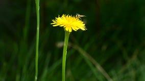 Mosca en la flor amarilla del diente de león almacen de video