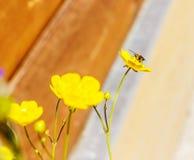Mosca en la flor amarilla en el tiempo soleado Imagen de archivo libre de regalías